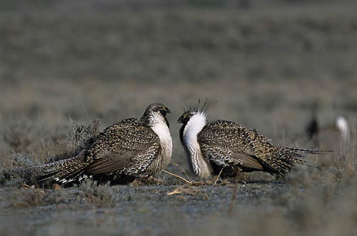 Sage Grouse, (Centrocercus urophasianus) Pair of males in mating display confront each other on breeding grounds or lek. Utah.