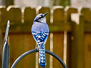 Blue Jay looking over its shoulder