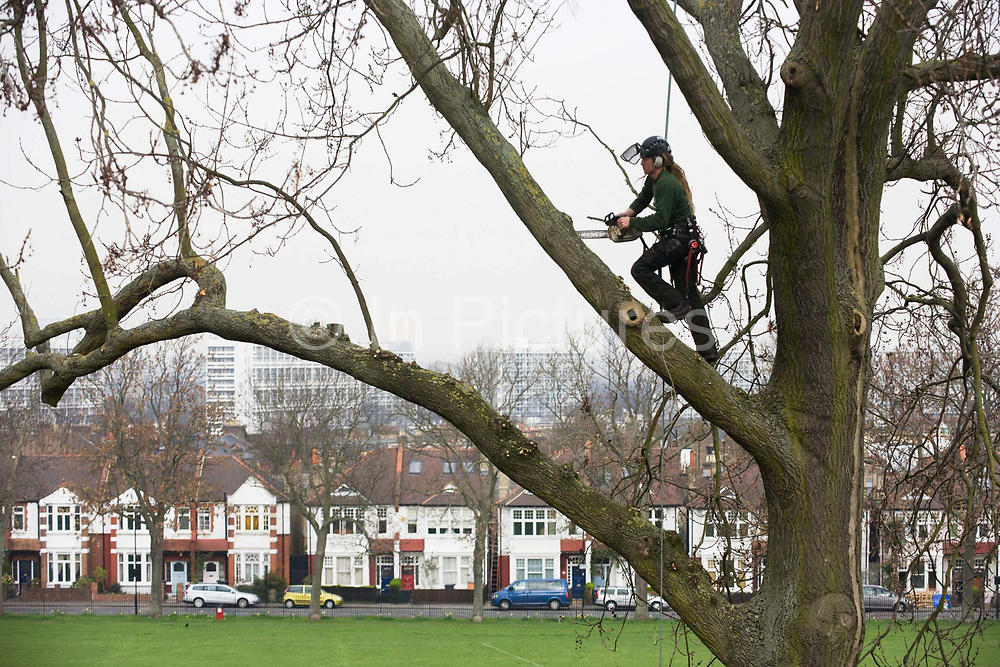 A tree surgeon working as a contractor for London's Lambeth council trims high ash branches and boughs in Ruskin Park. Distant Edwardian period homes can be seen with blocks of flats in the Loughborough Estate are beyond. The man is tethered to safety harnesses and he swings himself across the large tree trimming and cutting the heavier and less stable arms of the plant's surfaces. Councils like Lambeth take the health of their public park's trees very seriously after incidents of falling parts onto innocent passers-by, with resulting injuries and legal action.