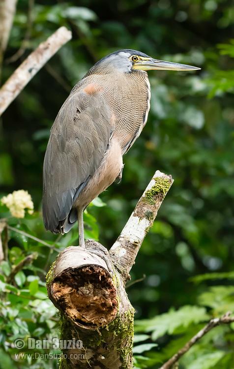 Bare-throated Tiger-Heron, Tigrisoma mexicanum, perched on a branch beside the Tortuguero River (Rio Tortuguero) in Tortuguero National Park, Costa Rica