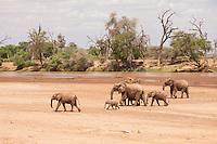 A herd of elephants crosses a dry river bed of the Ewaso Nyiro in Samburu National Reserve, Kenya.