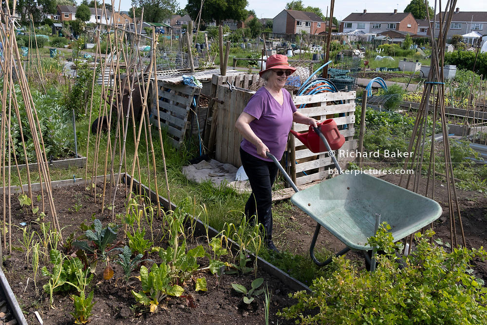 An elderly woman works at the family vegetable allotment plot, on 30th May 2021, in Nailsea, North Somerset, England.