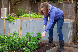 Planting out peas which have been grown in gutters - Pisum sativum