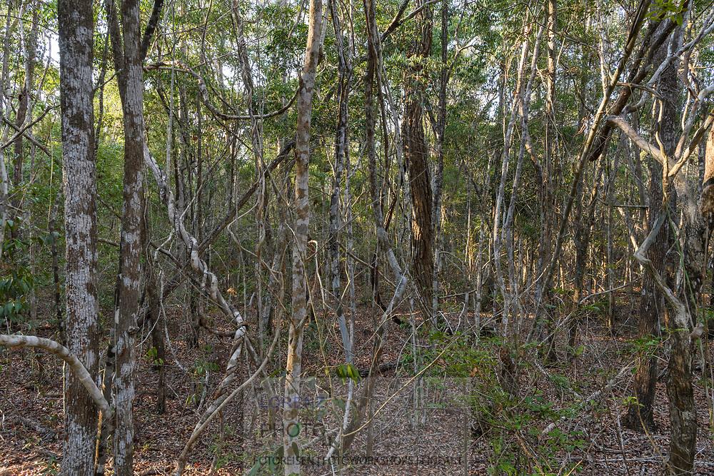 Vegetation im Trockenwald, Kirindy, Madagaskar<br /> <br /> Vegetation in the dry forest, Kirindy, Madagascar
