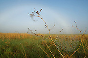 Spiderweb, bison fur and a fogbow on the Great Plains of Montana at American Prairie Reserve. South of Malta in Phillips County, Montana.