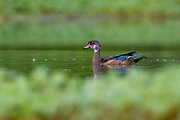 A male wood duck (Aix sponsa) in non-breeding plumage swims among the vegetation in the wetlands of the Washington Park Arboretum, Seattle, Washington.