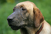 """A labrador retriever shows off his muddy face after rolling around in some mud along the hiking trail from Crested Butte to Aspen, Co. Aspen and Crested Butte are hours apart by car and probably worlds apart in attitude but only separated by 24 miles on a map. Many hikers are starting to take one of a number of mountain passes on foot and stay the night in the other town and then hike, bike, drive or fly back the following day. Depending on the route chosen and the ability of the hiker, it takes about 5 to 9 hours to hike between the two towns. Most hikers choose the trails that converge on 12,490-foot West Maroon Pass ? the shortest of the available options at 10.5 miles. The trail offers a steady uphill from either side, with ample time to prepare for the last steep and loose rocky sections before the pass.The historic Town of Crested Butte is a Home Rule Municipality located in Gunnison County, Colorado, United States. A former coal mining town now called """"the last great Colorado ski town"""", Crested Butte is a destination for skiing, mountain biking, and a variety of other outdoor activities.The Colorado General Assembly has designated Crested Butte the wildflower capital of Colorado..(Photo by MARC PISCOTTY / © 2006)"""