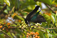 Superb Bird of Paradise (Lophorina superba) male.