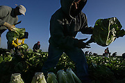 Farm workers harvest romaine lettuce, a back breaking job early in the morning in Salinas Valley. The romaine lettuce is hand picked chopped then set upside down delicate work where it is wrapped and boxed up.