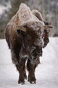 A couple of Bison decided to take advantage of the groomed cross country ski trail at Old Faithful in Yellowstone National Park.