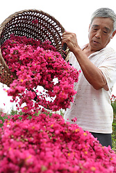 August 29, 2017 - A villager airs medicinal flowers in Xiaolyushan Village of Lushi Township of Huaying City, southwest China's Sichuan Province. Since the local government introduced flower plantation in 2015, farmers here have found a new way to increase their income. (Credit Image: © Qiu Haiying/Xinhua via ZUMA Wire)