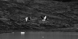 Barnacle goose at the lake, Fjallsarlon, iceland - Helsingjar á flugi við Fjallsárlón