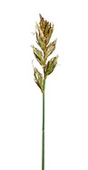 Sand Sedge - Carex arenaria