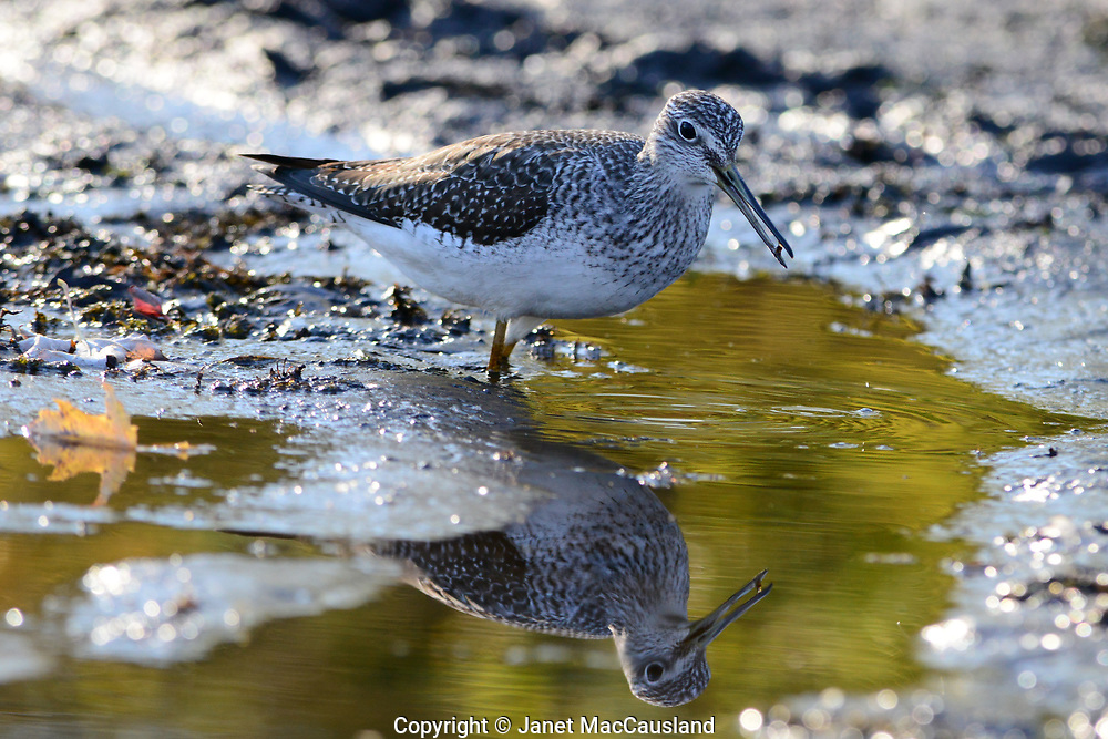 """A Greater Yellowlegs sandpiper's image is reflected in the Sudbury River, Massachusetts as it forages in the mud. A Greater Yellowlegs (Tringa melanoleuca) sandpiper is about 14"""" long, at least a few inches greater than the Lesser Yellowlegs ( t. flavipes). Both have long legs, common to wading birds, in their cases, yellow."""