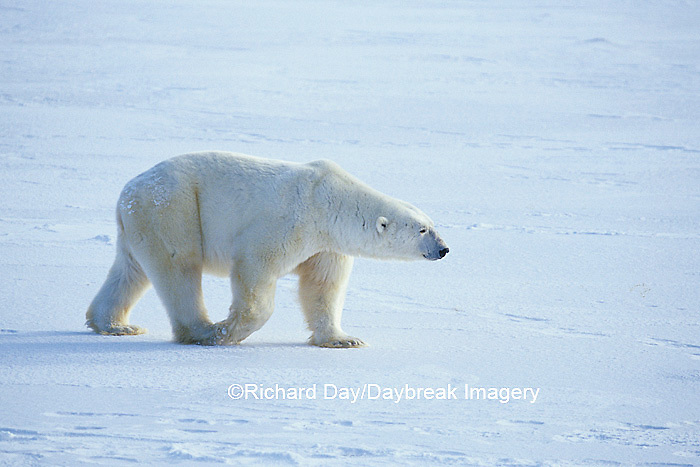 01874-04816 Polar Bear (Ursus maritimus)  Churchill  MB