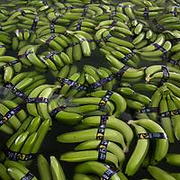 Ecuador: ASOGUABO Fairtrade bananas