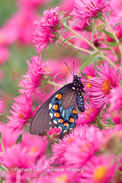03004-00804 Pipevine Swallowtail (Battus philenor) on New England Aster (Aster novae-angliae 'Alma Potschke')Marion Co.  IL