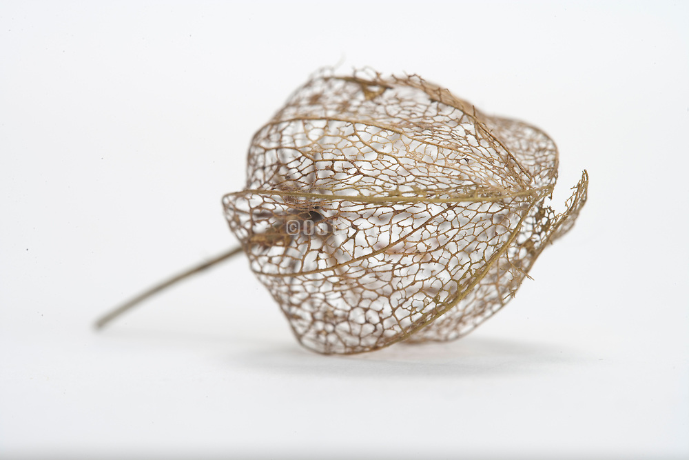 vessels of a Chinese Lantern Plant leaf