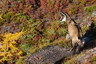 Gämsen an einem schönen, sonnigen Herbsttag im Aletschwald im Welterbe Jungfrau, Aletsch, Bietschhorn oberhalb Mörel.