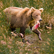 North America, United States, Northwest, Pacific Northwest, West, Alaska, Katmai, Katmai National Park, Brooks River, Grizzly bear, brown bear. Alaskan brown bear (grizzly) with a salmon at the Brooks River, Katmai National Park, Alaska.