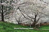 65021-02602 Flowering Crabapple trees in spring, Missouri Botanical Garden, St Louis  MO