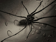 Thr first large hairy spider in the house this autumn in the UK