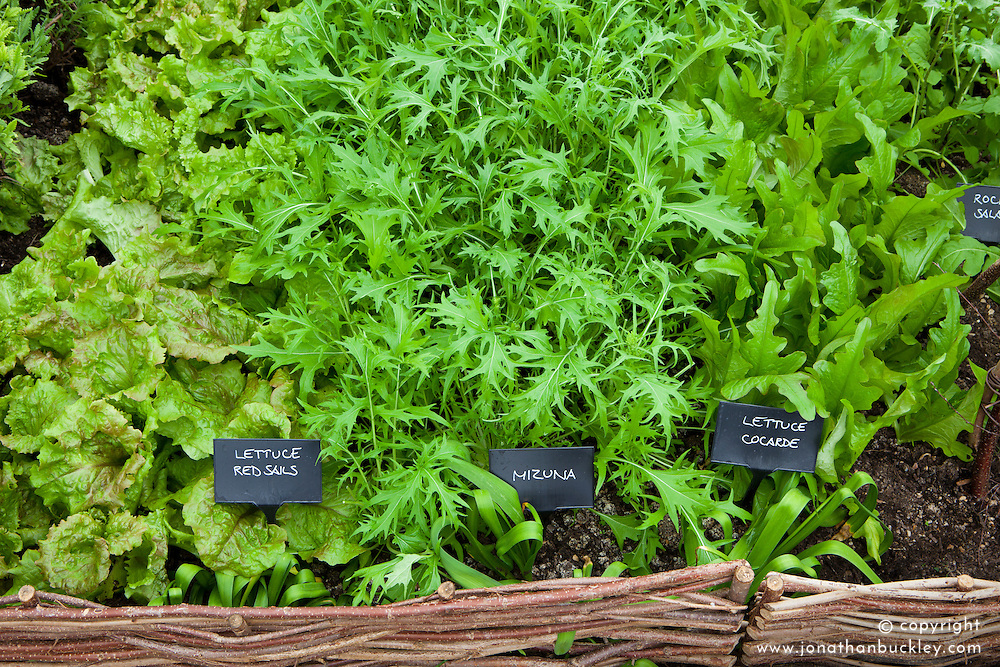 Salad leaves growing in rows. Mustard 'Red Frills', Lettuce 'can Can', Mustard 'Red Giant' and Mibuna