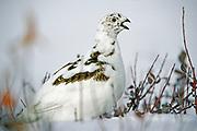 Willow ptarmigan (Lagopus lagopus) on tundra<br />Churchill<br />Manitoba<br />Canada