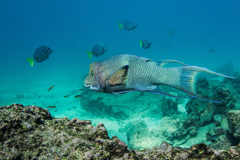Streamer Hogfish Supermale (Bodianus diplotaenia)<br /> Bartolome Island<br /> Galapagos<br /> Ecuador, South America