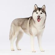 20140924 Dalmatians, Siberian Huskies and Standard Poodles
