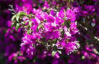 NOVA SANCTI PETRI  , Chicana de la Frontera (CADIZ) - Golfcourse  IBEROSTAR Centro . bougainville bloem COPYRIGHT KOEN SUYK