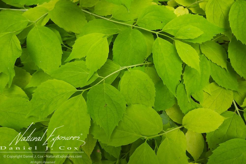 Leaves of a bush at Ashford CAstle, Ireland