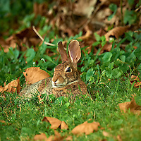 Harvey the Rabbit Resting after Dinner. Backyard Summer Nature in New Jersey. Image taken with a Nikon D3x and 600 mm f/4 VR lens (ISO 200, 600 mm, f/5.6, 1/30 sec). Raw image processed with Capture One Pro, Nik Define 2, and Photoshop CS5.