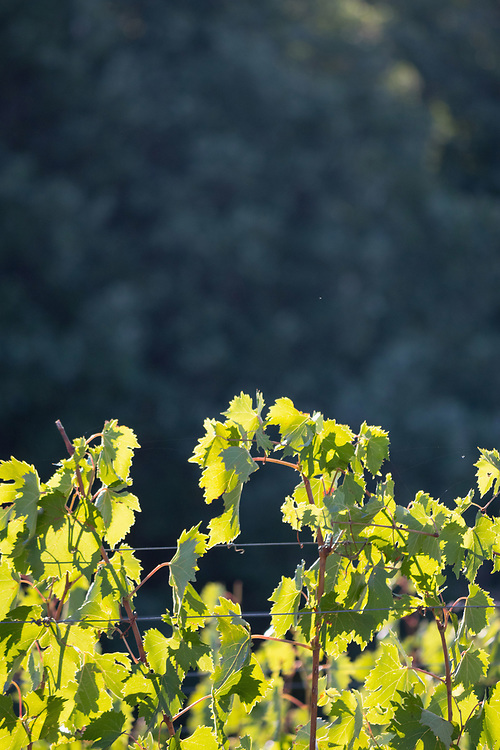 The vine with sunshine in the morning, Val di Pesa, Tuscany, Italy