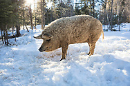 Mangalista pig late afternoon winter day