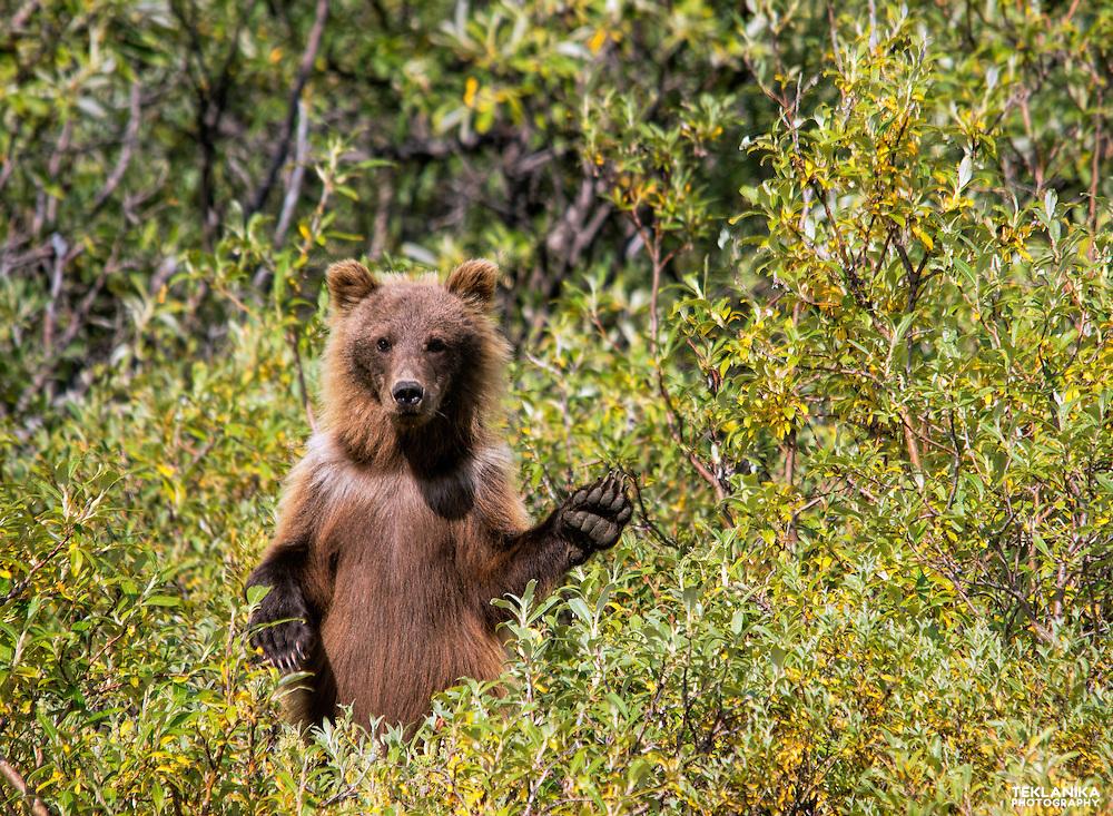 A brown bear cub near the Toklat River in Denali National Park.