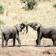 Two young elephants at play at Tarangire National Park in northern Tanzania not far from Ngorongoro Crater and the Serengeti.
