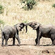 Two young elephants at play at Tarangire National Park in northern Tanzania not far from Ngorongoro Crater and the Serengeti.