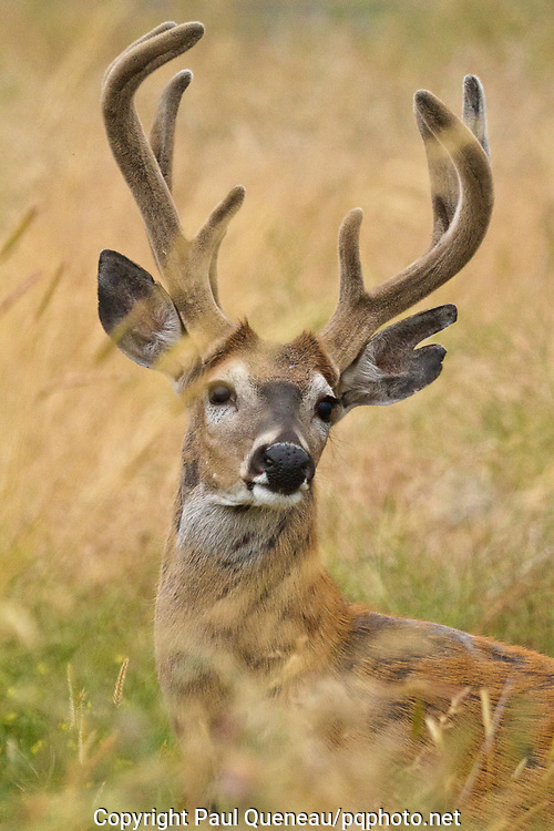 Heavy in antler and whitening with age, a handsome whitetail tips his velvet crown to among tall August grasses near Missoula.