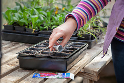 Sowing hardy annuals seeds - nicotiana -  into a module tray