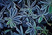 frost on leaves of paintbrush. Gifford-Pinchot National Forest, Washington.