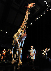 © Licensed to London News Pictures. 03/04/2012. London, UK. Curator Georgina Bishop stands underneath the giraffe exhibit. The intricate biology and physiology of animals can be explored after the process of Plastination at a new exhibition. The launch of The Natural History Museum's Animal Inside Out exhibition. The exhibition is the UK premiere from the team behind Gunther von Hagens' Body Worlds shows, with almost 100 specimens on show. Animal Inside Out runs from April 6 April to September 16 at the Natural History Museum, London. Photo credit : Stephen SImpson/LNP