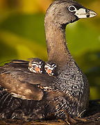 Eyes on the Perilous World:  In their nest just 3.2 miles from the Space Needle, three chicks snuggle into the feathers of a parent, a pied-billed grebe, until they are able to face the world on their own.