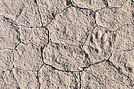 A coyote footprint in sun baked and cracked soil near Malheur National Wildlife Refuge, Harney County, Oregon.