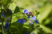 A honey bee drinks from a blue flower in the Energy Garden at Brondebury Park train station 22nd May 2016,London,United Kingdom. At the meeting are local residents, Repowering London representatives and the station manager. Repowering London and their Energy Garden project in the making. Energy Gardens is a pan-London community garden project where reclaimed land alongside over ground train stations and track are cultivated by local community groups. Up 50 gardens are projected with the rail network being the connection grid. The project is a collaboration between Repowering London, local community groups and station managers working for TFL.