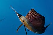 Atlantic Sailfish (Istiophorus albicans)<br /> Isla Mujeres<br /> MEXICO<br /> RANGE: Atlantic Oceans & Caribbean SEa