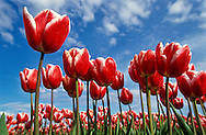 Low angle view of tulip blossoms in tulip field, Skagit Valley, Mt. Vernon, Washington