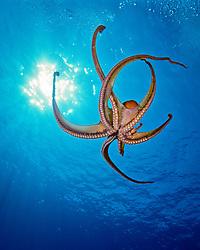 day octopus, Octopus cyanea, Kona Coast, Big Island, Hawaii, USA, Pacific Ocean