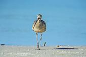 Long-billed Curlew (Numericus americanus)