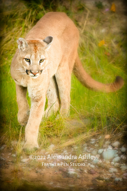 Female mountain lion photographed in controlled situation within naturalistic habitat.